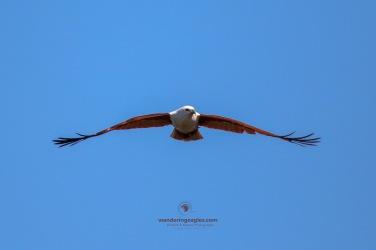 Brahminy Kite inbound