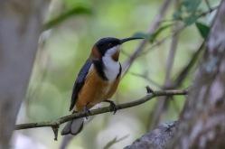 Eastern Spinebill - Bongil Bongil National Park