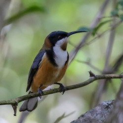 Eastern Spinebill - Bongil Bongil National Park