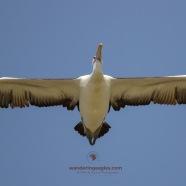 Pelican Flyby - Urunga
