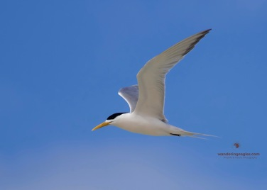 Adult Crested Tern
