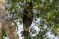 Yellowtail Black Cockatoo