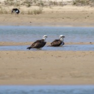 A pair of Ospreys Bathing from a distance