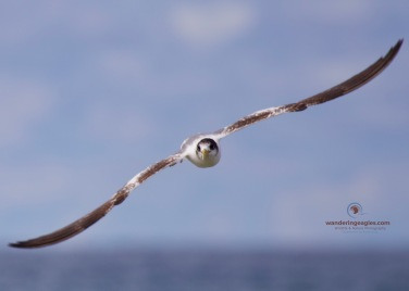 Immature Crested Tern