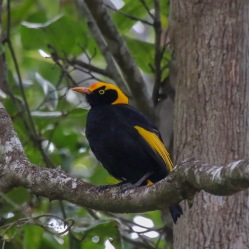 Regent Bowerbird - Bongil Bongil National Park