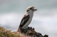 Even Kookaburras love the beach