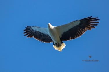 White-bellied Sea-eagle Soaring - Grassy Head