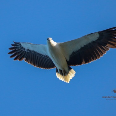 White-bellied Sea-eagle Soaring - Grassy Head
