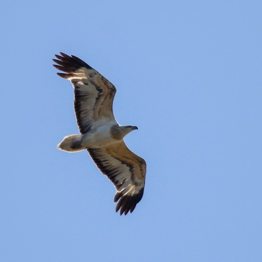 Immature White-bellied Sea-Eagle