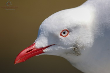 Close up of a Silver Gull