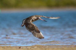 Bar-tailed Godwit takes flight