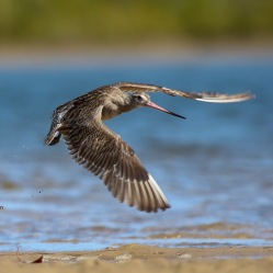 Bar-tailed Godwit takes flight