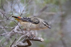 Spotted Pardalote - female