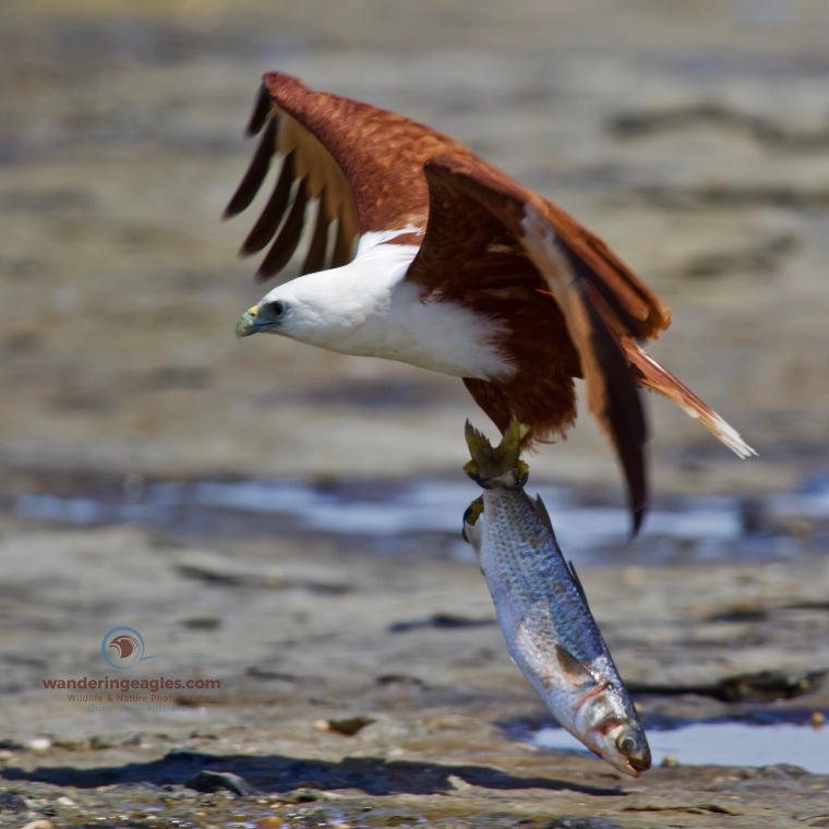 Brahminy Kite trying to get airborne