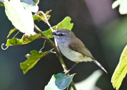 Brown Gerygone