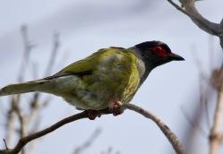 Male Figbird