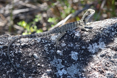 A Young Eastern Water Dragon
