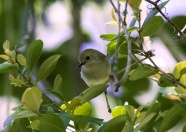 Long-billed Scrubwren
