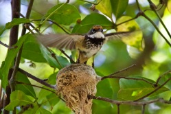 Rufous Fantail - Flying the coup