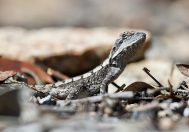 Juv Nobbi Dragon Lizard
