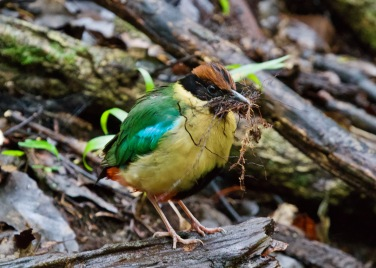 Noisy Pitta collecting nesting material