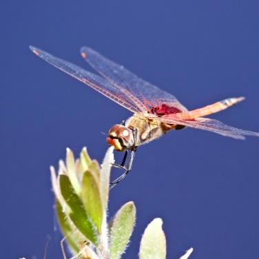 Common Glider