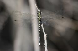Yellow-tipped Tigertail Dragonfly - Choristhemis flavoterminata