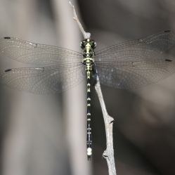 Yellow-tipped Tigertail Dragonfly - Choristhemis flavoterminata