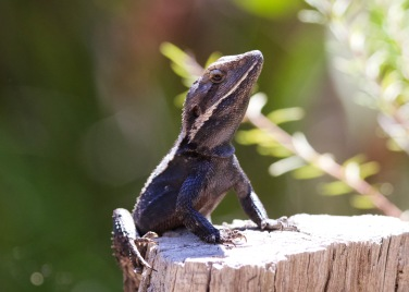 Nobbi Dragon Lizard