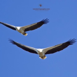 A pair of White-bellied Sea-eagles