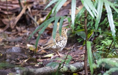 Very secretive Russt-tailed Thrush