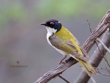 White-napped Honeyeater