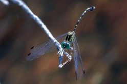 This is a Common male Archtail Dragonfly