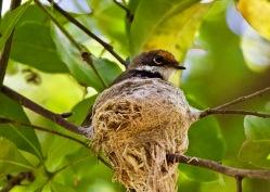 Rufous Fantail - Nesting