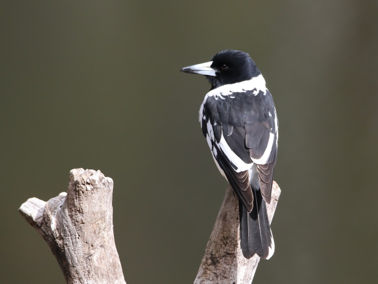 Adult Pied Butcherbird