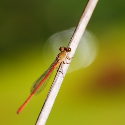 Red tail Damselfly