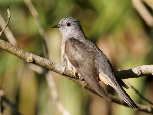 Brush Cuckoo : Tyto Wetlands