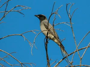 Black-faced Cuckoo-Shrike : Tyto Wetlands