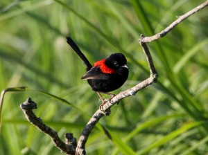 Red-backed Fairywren : Tyto Wetlands