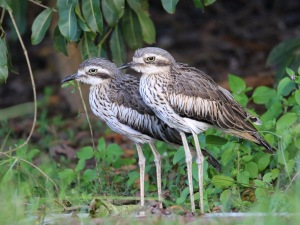 A pair of Bush Stone-Curlews : Tyto Wetlands
