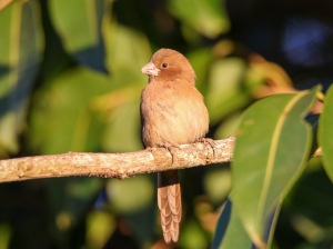 Immature Crimson Finch : Tyto Wetlands