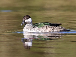 Female Green Pygmy Goose : Tyto Wetlands