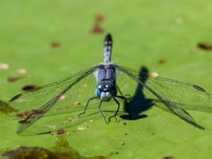 Chalky Percher Dragonfly : Tyto Wetlands