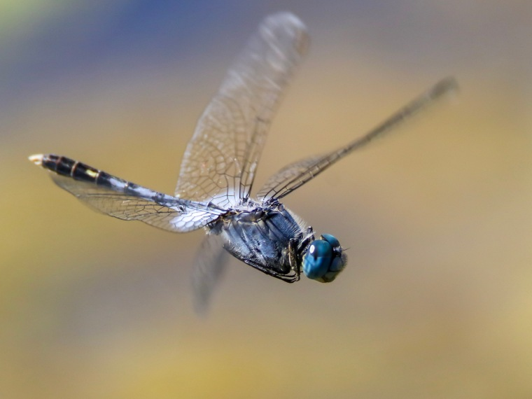 Inflight Chalky Percher Dragonfly