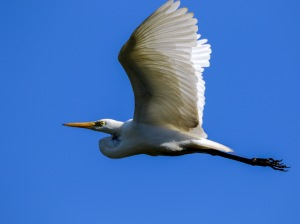 Intermediate Egret : Tyto Wetlands