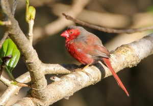 Crimson Finch : Tyto Wetlands