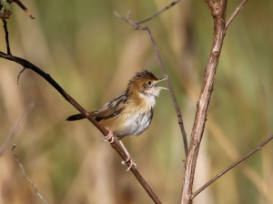 Golden-headed Cisticola :Tyto Wetlands