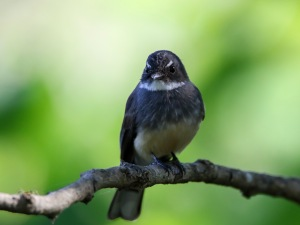 Northern Fantail : Tyto Wetlands