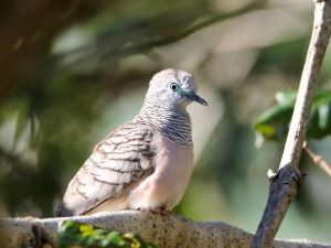 Peaceful Dove : Tyto Wetlands