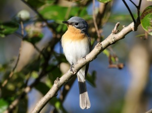 Female Leaden Flycatcher